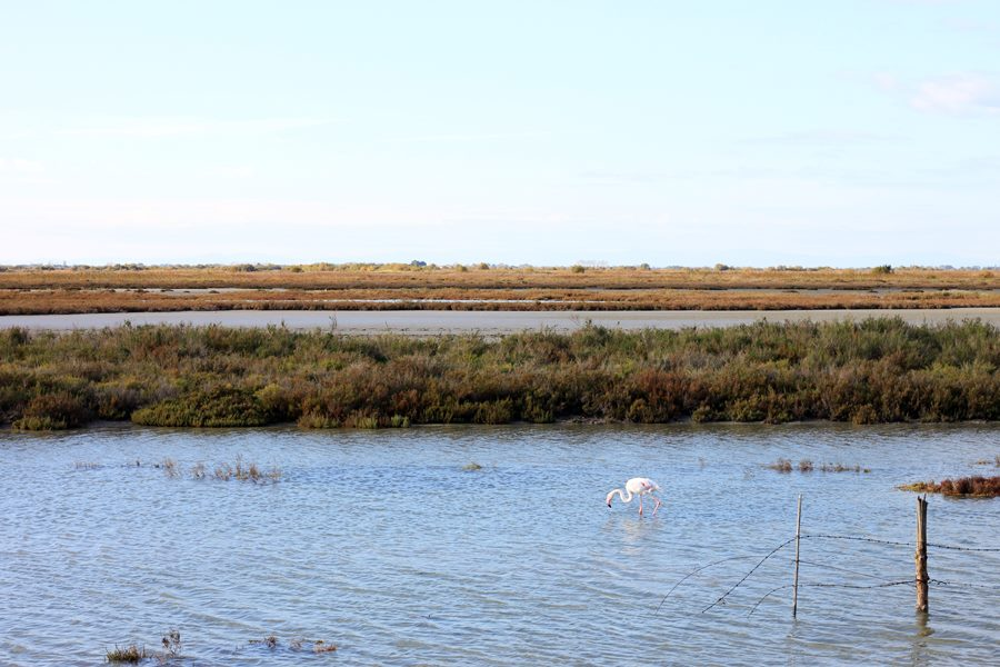 Where To Find Wild Flamingos In The Camargue