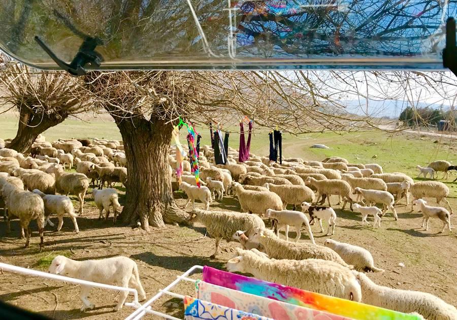 Van life views of sheep in Turkey - Fulltime Van Family Exploring Europe