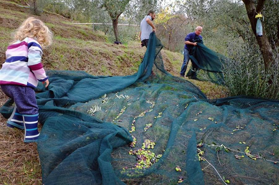 Family help with olive harvest in Tuscany - New Life In Italy After Family Van Life Adventure